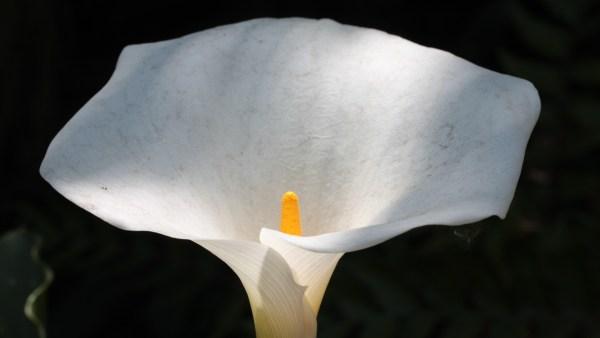 Espata é uma folha que protege os botões de flores