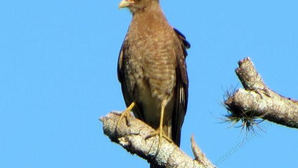 Ximango é uma espécie de ave de rapina comum no Brasil