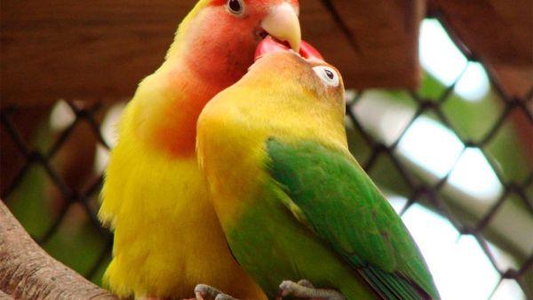 Agapornis é ave de aparência bela, barulhenta, ativa e colorida