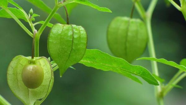 Camapu é uma planta medicinal de folhas verde-escuras