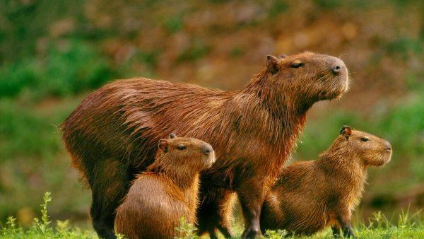 Capivara é um mamífero herbívoro considerado o maior roedor do mundo