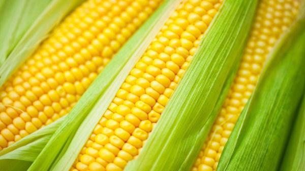 Corn Belt é região nos EUA especializada em cultivo de milho