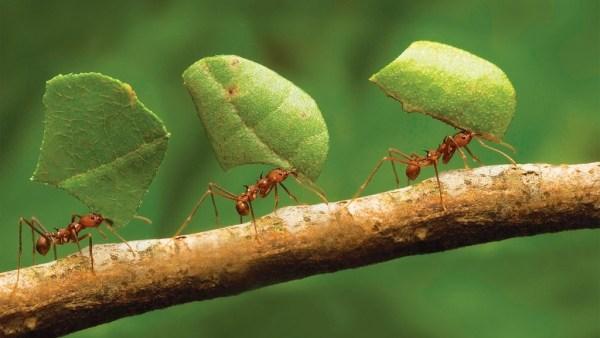 Formiga cortadeira pode causar severas desfolhas em mudas