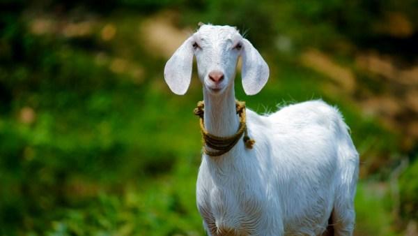 Leite de cabra é alimento saudável e rico em vitaminas
