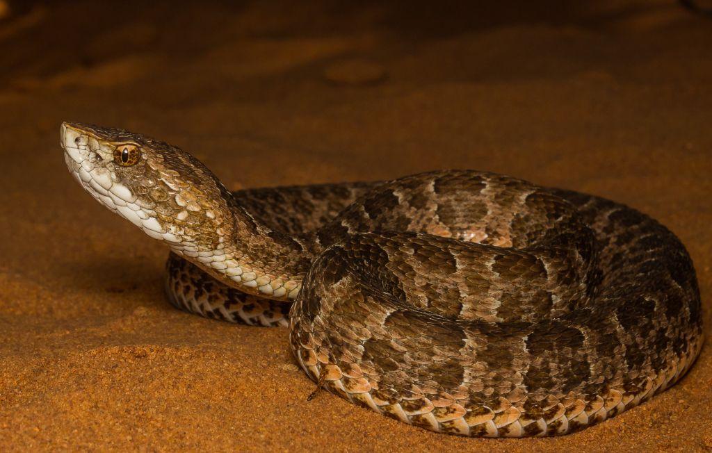 Cobra cotiara