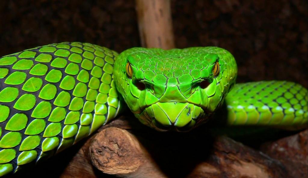 Cobras venenosas