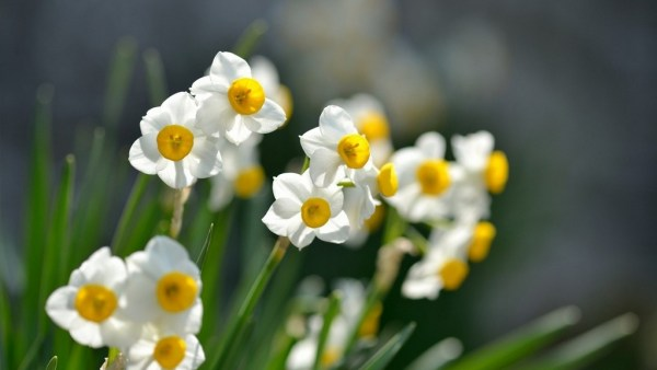 Flor narciso tem cores que geralmente variam entre branco e amarelo