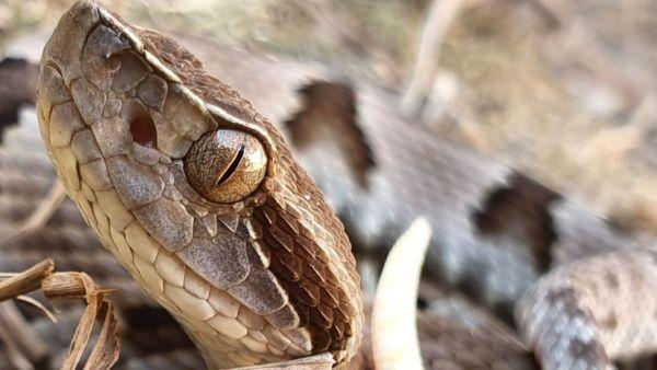 Jararaca da mata, encontrada no Brasil, atinge até 1,6m de comprimento