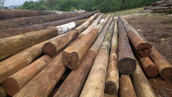 Madeira de eucalipto tem alta densidade e durabilidade