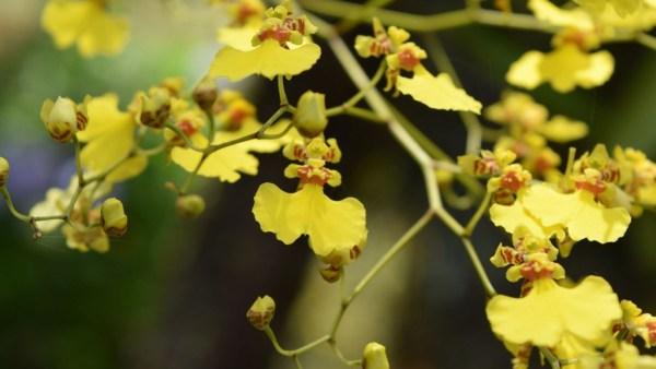 Orquídea chuva de ouro é uma espécie epífita de aparência exuberante