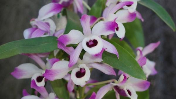 Orquídea dendrobium é um dos gêneros mais populares e numerosos