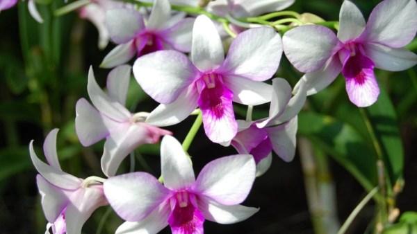 Orquídea denphal tem porte altivo, elegante e é muito bonita