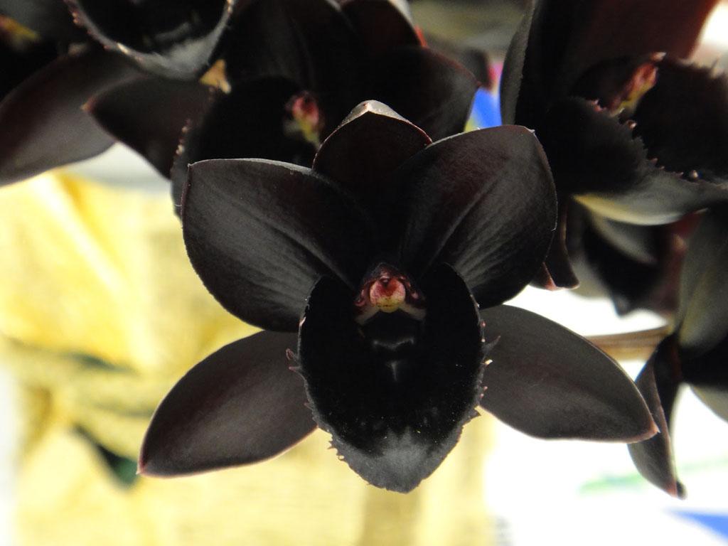 Orquídea negra