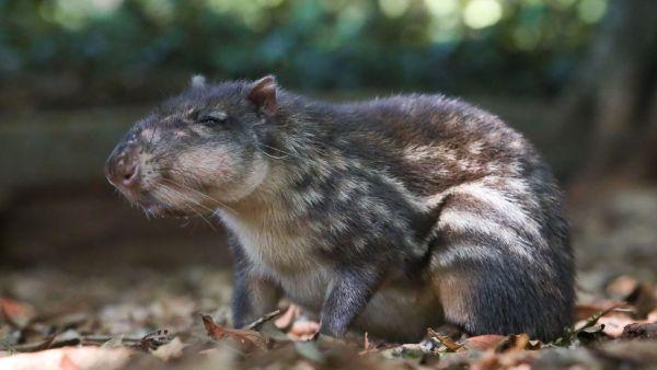 Paca é um roedor de pelagem dura e de coloração marrom