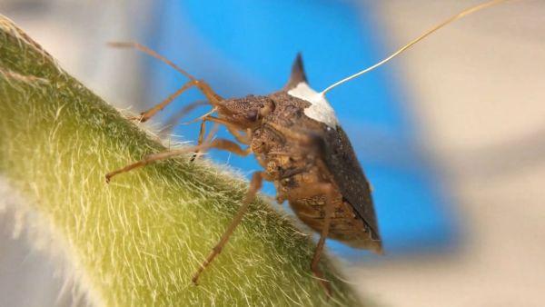 Percevejo marrom é uma das pragas que mais atacam a soja