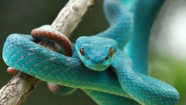 Serpentes são répteis de grande beleza e origem próxima dos lagartos