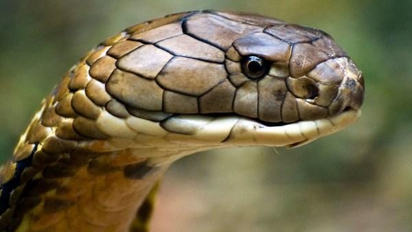 Cobra real (ou cobra-rei) é comum na Ásia meridional e sudeste asiático
