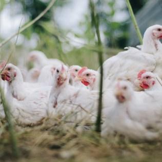 Oscilações no mercado podem afetar o preço do frango