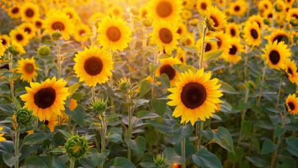 Como plantar girassol? Saiba como cuidar dessa bela flor