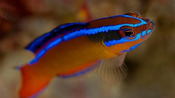 Peixes ornamentais têm cores incríveis e são fáceis de criar em cativeiro