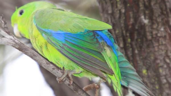 Periquito azul é uma variação do periquito australiano