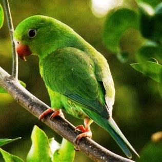 Periquito verde, espécie endêmica do Brasil, vive em casais