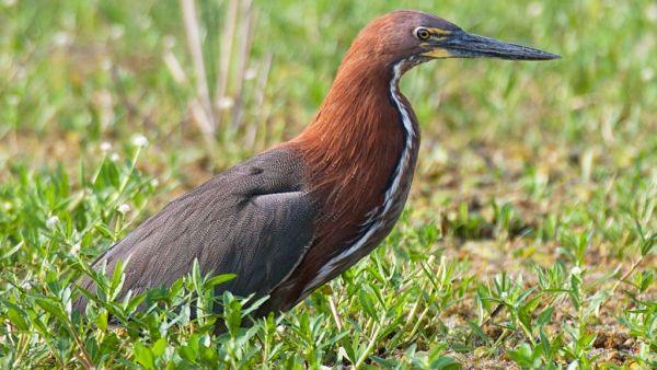 Socó-boi é ave que geralmente vive nas margens de rios e lagos