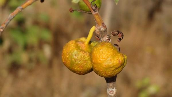 Tapiá é uma espécie de árvore nativa da América do Sul