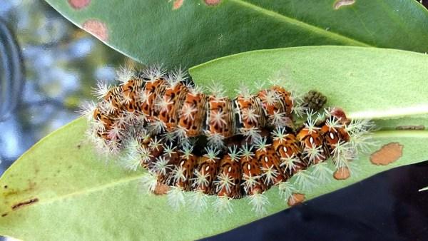 Taturana é o estágio larval de alguns insetos da ordem Lepidoptera