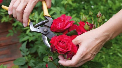 Como plantar rosas e ter flores bonitas o ano todo?