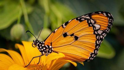 Lepidoptera, ordem de insetos, abriga mariposas e borboletas