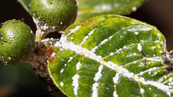 Pulgão branco é uma praga comum em diversas plantas