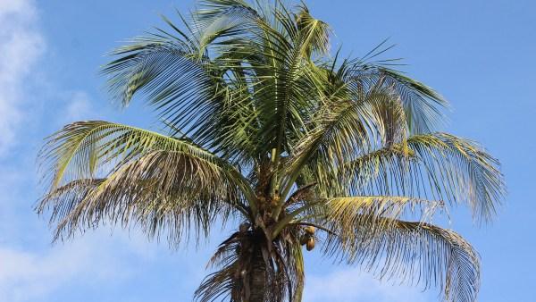 Saiba como plantar coqueiro e veja dicas para o sucesso do plantio