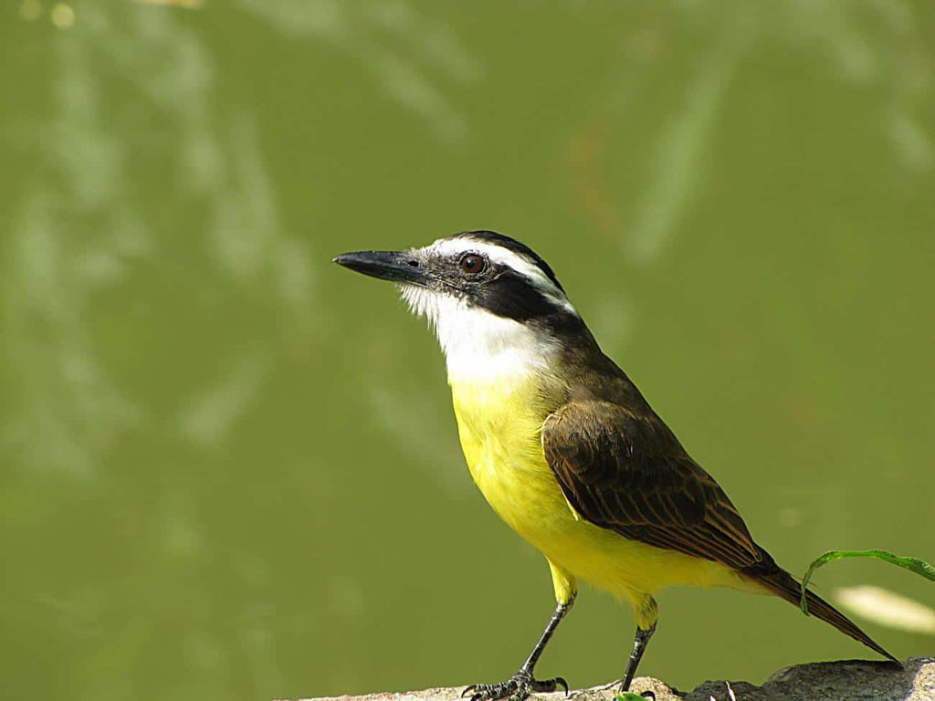 Nomes de pássaros