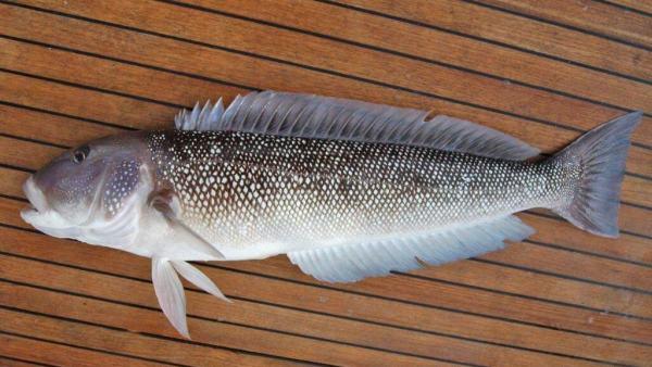 Namorado, peixe de águas tropicais salgadas, é bastante nutritivo