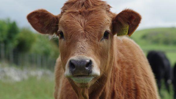 Endometrite em bovinos afeta fertilidade do animal