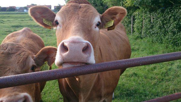 Metrite afeta produção de leite e pode levar animal à morte