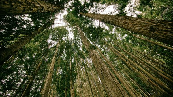 Umburana de cheiro está entre as árvores de origem brasileira