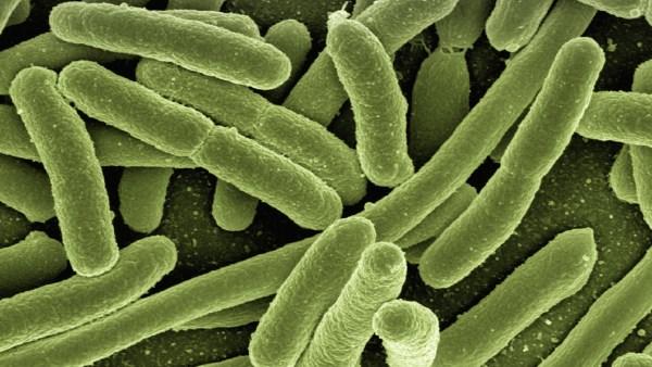 Bactéria Escherichia coli pode contaminar e levar animais à morte