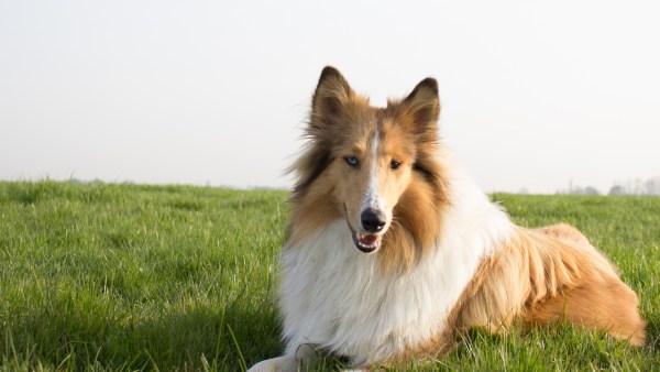 Rough collie é uma raça de cães de pastoreio com origem da Escócia
