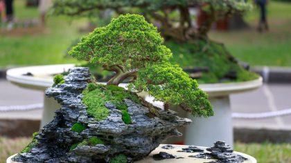 Árvore Junípero é utilizada para o cultivo de bonsai em todo o mundo