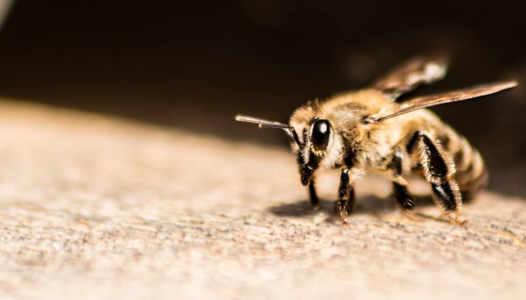 abelha com listras amarelas e pretas