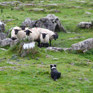 Ovelheiro gaúcho é cão de pastoreio e de origem brasileira