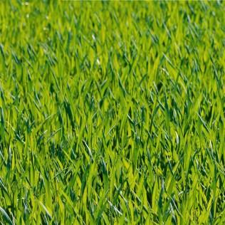 Pastagem de verão garante alta produtividade em períodos secos do ano