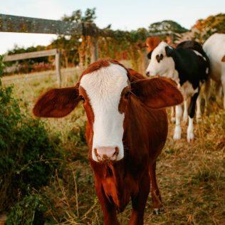 Pastejo rotacionado é um método de manejo de pastagem para gado
