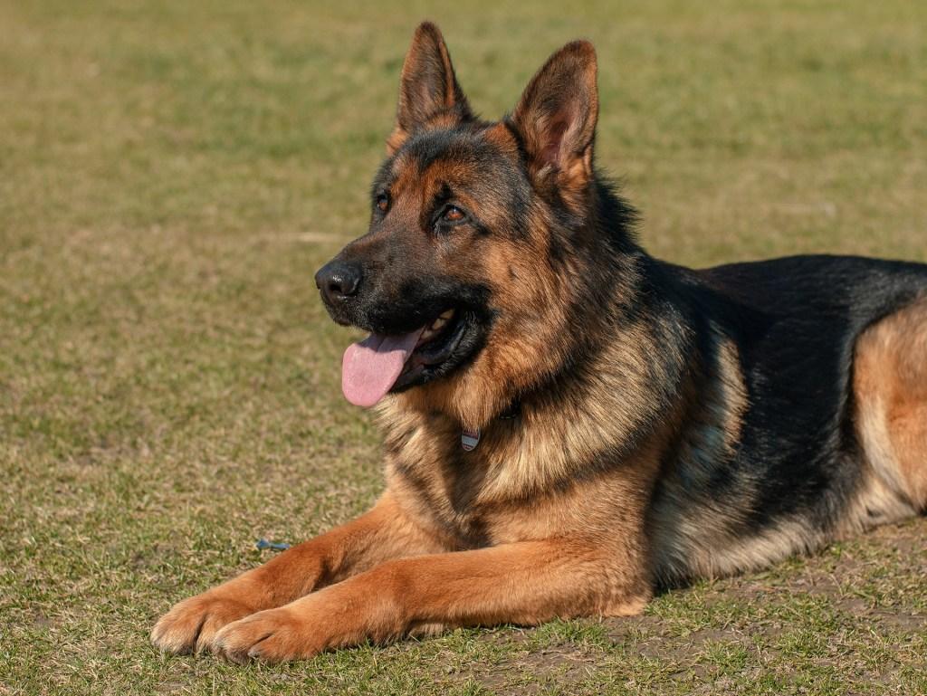 cachorro pastor alemão deitado na grama