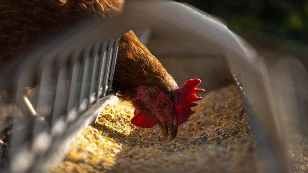 Salmonelose é causada por bactérias e pode levar animais à morte