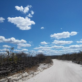 Umburana é árvore nativa da Caatinga brasileira