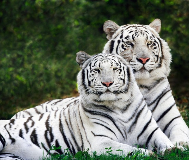 White Phase Bengal Tigers Wallpaper Tigers Animals Wallpapers