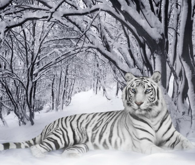 White Tiger Wallpaper Tigers Animals Wallpapers